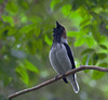 bearded_bellbird-Tri152