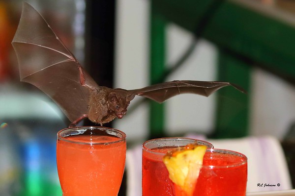 Bat dive bombing a Rum Punch