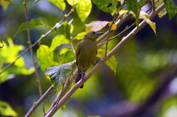 Asa Wright Nature Centre in the northern mountain range of Trinidad. I'm not great at bird recognition so can't give a name to this one.
