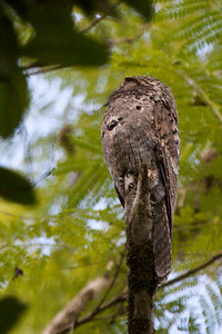 Asa Wright Nature Centre in the northern mountain range of Trinidad. This was a type of owl though the word 'owl' was lacking from its name.