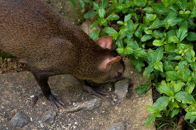 Asa Wright Nature Centre in the northern mountain range of Trinidad. A snuffling Agouti. These animals are a delicacy on the island.