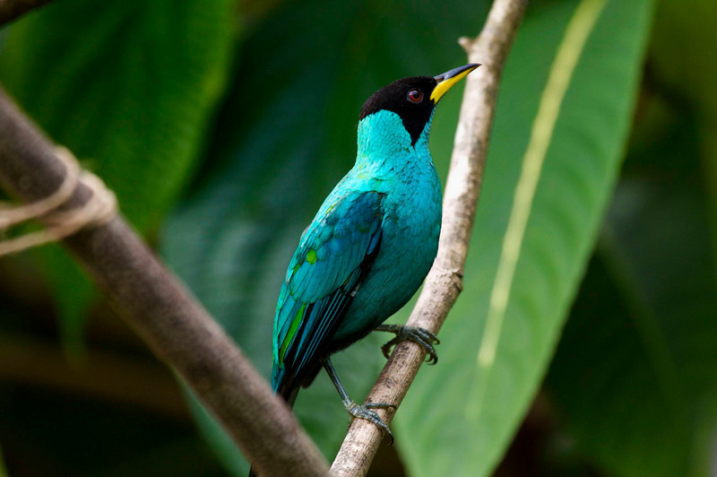 Asa Wright Nature Centre in the northern mountain range of Trinidad. Green honeycreeper.