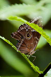 Asa Wright Nature Centre in the northern mountain range of Trinidad. Butterfly.