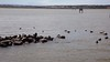 Wildlife at the Goolwa Barrage