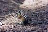 Bubonic Plague Squirrel