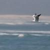 Hartlaub's Gull (Hermanus)