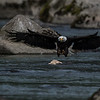 Bald Eagle (Haliaeetus leucocephalus). Bald Eagle is a bird of prey found in North America.