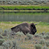 Bison, not Buffalo, Yellowstone