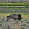 Bison, not Buffalo, Yellowstone