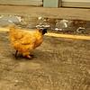 Black headed chicken