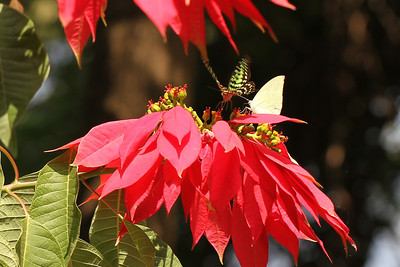 Butterflies and poinsettias