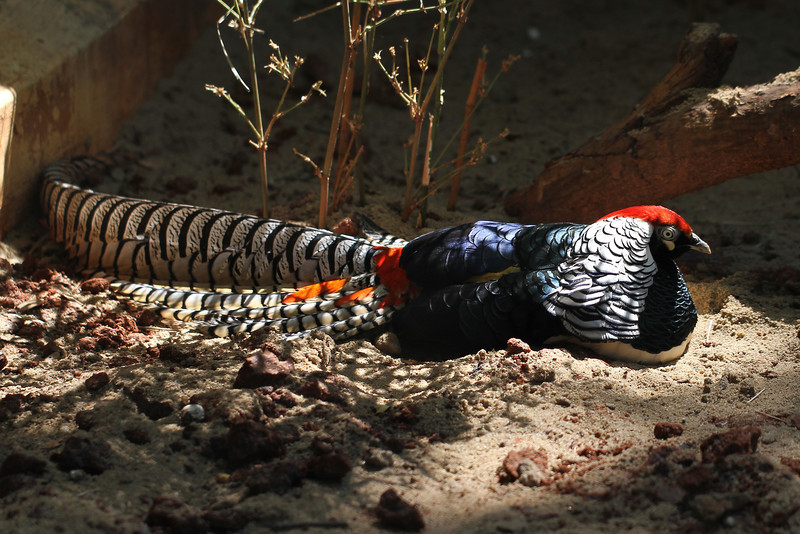 Lady Amherst's Pheasant (Chrysolophus amherstiae)