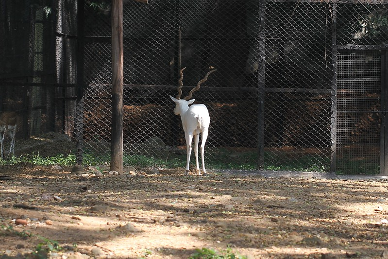 Black Buck (Albino)