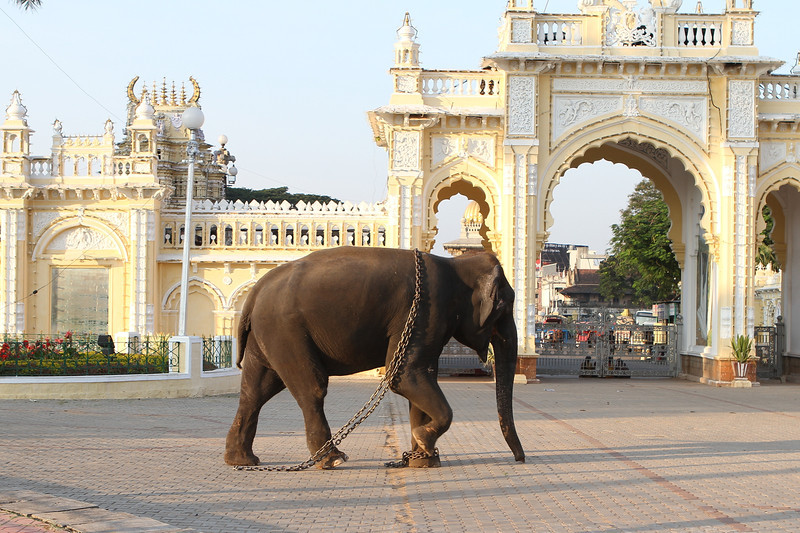 Chained elephant at Mysore Palace