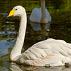 2013-11-29. Whooper Swan (pronounced hooper), Cygnus cygnus. Iberostar Resort south of Cancun in the Riviera Maya, Mexico.
