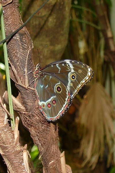 Blue Morpho. Resident of Magic Wings Butterfly House, Durham NC.
