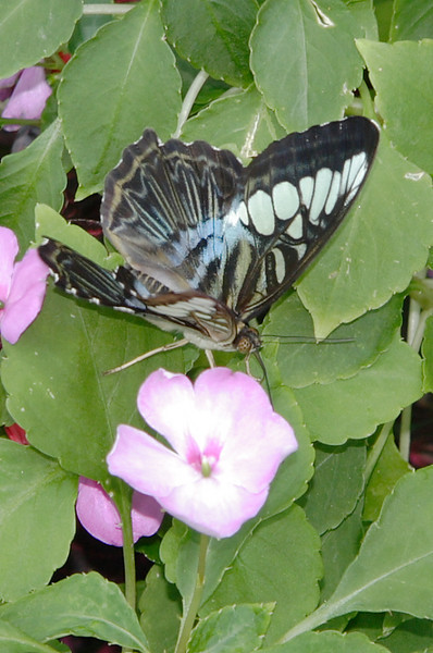 Blue Clipper. Resident of Magic Wings Butterfly House, Durham NC.