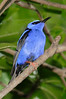 Red-legged Honeycreeper from Central America.