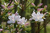 Azalea blossoms, NC.