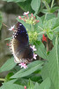 Great Eggfly butterfly? Resident of Magic Wings Butterfly House, Durham NC.