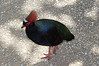 Southeast Asian Crested Wood Partridge.