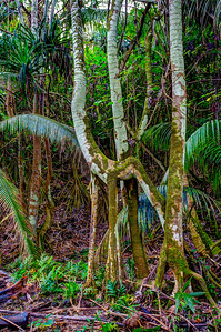 Jungle near Pahoa, Hawaii