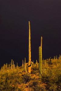 Arizona_Cactus-10