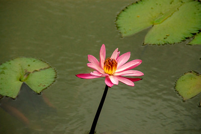 Flower 01 Pond