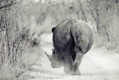 Rhino Walking Down The Track