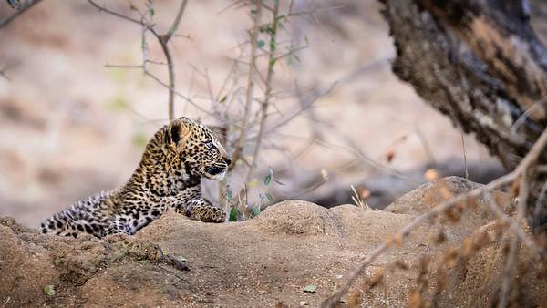 Leopard Cub Looks To Mum