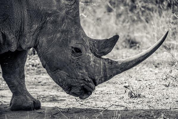 Long Horned Rhino Profile