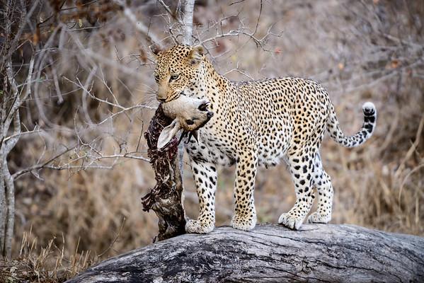 Leopard Impala Kill