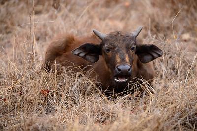 Buffalo Calf Resting