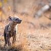 Playful Hyena Cub