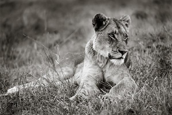 Resting Female Lion