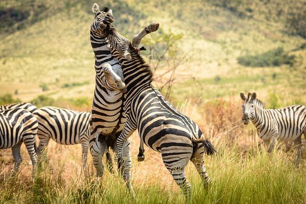 Pilanesberg-20130217-0540