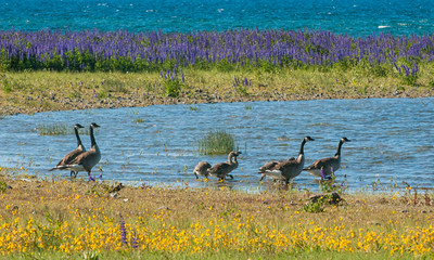 Canada Geese-5