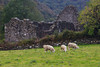 One of the homes in ruins in Glendalough with the ever present sheep grazing in the yard. Begun around 600 AD these are pretty old structures - even in Europe.