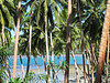 A Sea of Palms in Savusavu, Fiji