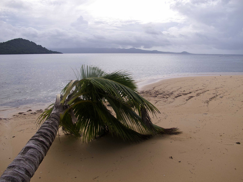 Fallen Coco Palm, Matangi Island, Fiji