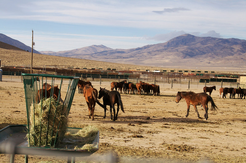 Wild Horse adoption center for northern NV