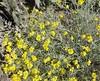 Whitestem Paperflower (Psilostrophe cooperi) Asteraceae