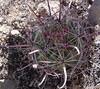 Barrelcactus (ferocactus wislzenii) Cactaceae