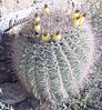 fruiting Barrelcactus (ferocactus wislzenii) Cactaceae