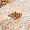 Empress Leillia butterfly (Asterocampa leilia)