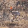 Antelope Jackrabbit (Lepus alleni)