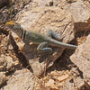 EasternCollared Lizard (Crotaphytus collaris)