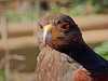 Sonora Desert Museum - Harris' Hawk