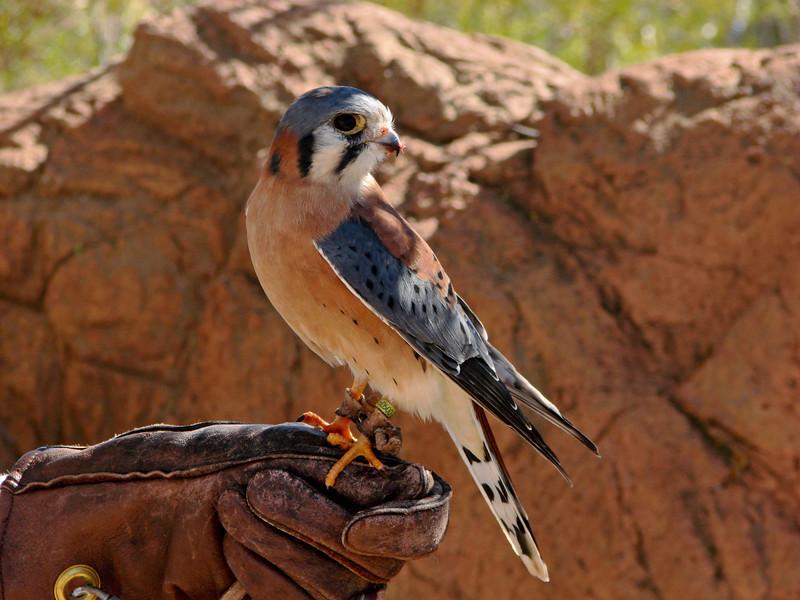 Sonora Desert Museum - Kestral