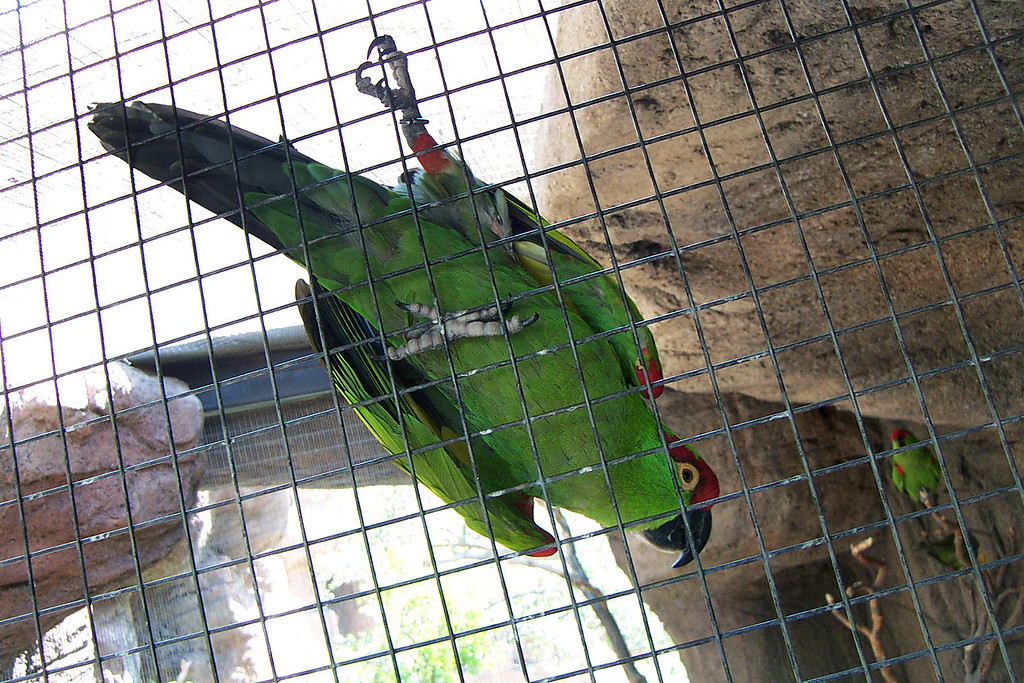 This parrot flew up to us as we approached the cage. Made it easy to get a photo of it.